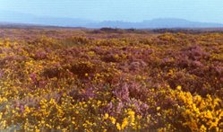 Heathland at Woodbury Common in southeast Devon
